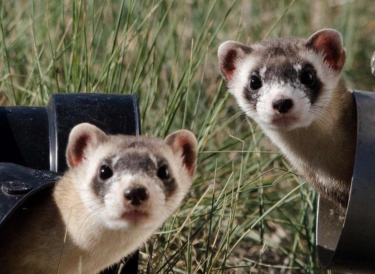 black-footed-ferrets-967192_1280